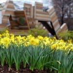 Downtown Daffodil Celebration